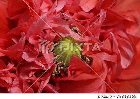 大輪の真っ赤な、ケシの花 78313369