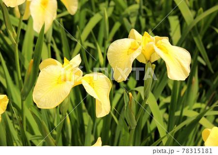 北山公園の咲き揃った黄色いハナショウブ(4) 78315181