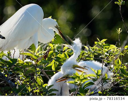 餌やりする木の上のダイサギ 78316534