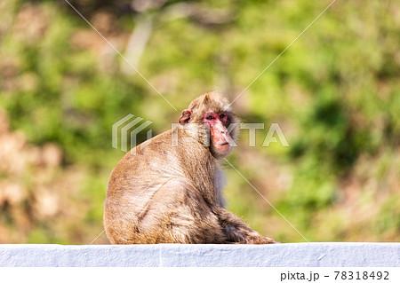 (静岡県)南伊豆波勝崎モンキーベイの猿 78318492