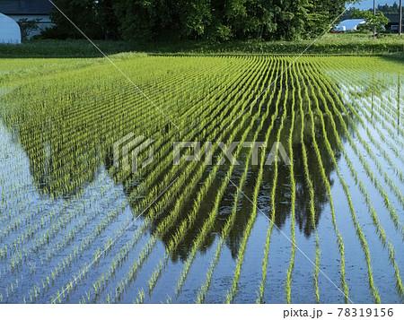 風景、写真 屋敷森を水面に映す早苗が美しい田んぼ 78319156