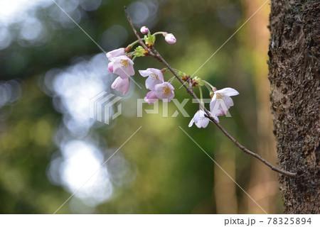 サクラの花 太い幹から細い枝を伸ばして咲くソメイヨシノ 78325894