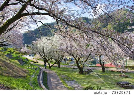 【相模原市】津久井湖城山公園の桜 78329371