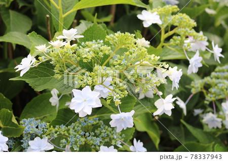 星の形をした白い花のきれいな紫陽花 78337943