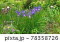 ジャーマンアイリスより小ぶりなアヤメの花 78358726