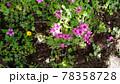 オキザリスの桃色の花 78358728