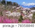 春爛漫の花見山と雪をいだく吾妻連峰 78358840