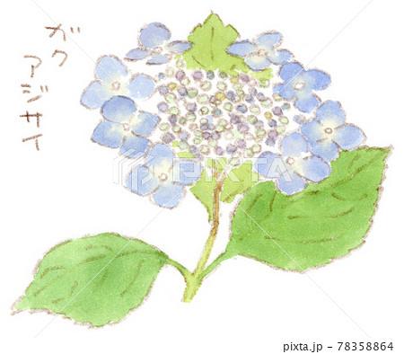 梅雨に咲く花:額紫陽花(がくあじさい)の水彩イラスト 78358864