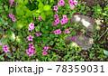 オキザリスの桃色の花 78359031