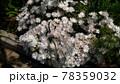 花びらに独特のつやを持つマツバギクの白色の花 78359032