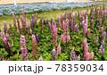 赤色と青色と桃色のルピナスの花 78359034