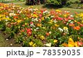 ポピーの黄色と白色と赤色の花 78359035