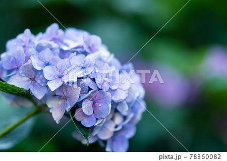 小平あじさい公園に咲く紫陽花 78360082