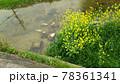菜の花と鯉 78361341