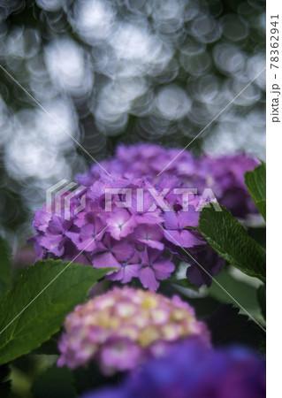 梅雨の晴れ間にさく紫陽花の花とシャボン玉ボケ 78362941