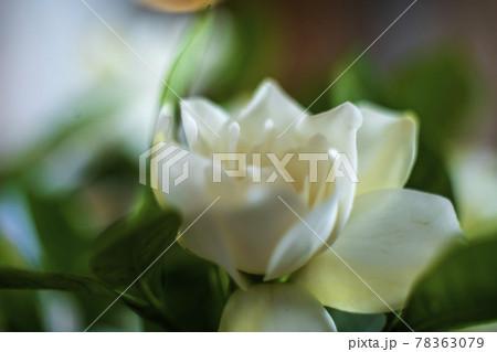 ジャスミンの香り漂うクチナシの花のクローズアップ 78363079