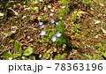 ネモフイラの青い花 78363196