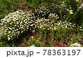 ノースポールの小さい白い花 78363197