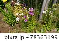 釣り鐘層草とも言うカンパニュラの紫色の花 78363199