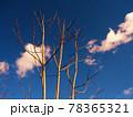 冬の雲とニワウルシ 78365321