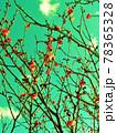 ノスタルジア・冬紅梅 78365328
