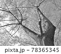 冬のセンダン 78365345
