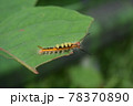ヒメシロモンドクガ 幼虫 78370890