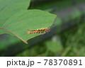 ヒメシロモンドクガ 幼虫 78370891
