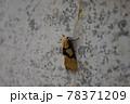 フタスジヒトリ 78371209