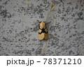 フタスジヒトリ 78371210