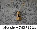 フタスジヒトリ 78371211