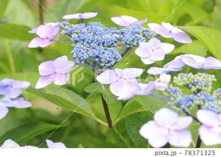 紫陽花畑に咲く薄紫のガクアジサイ 78371325