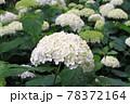 紫陽花(アナベル) 78372164