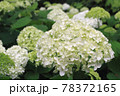 紫陽花(アナベル) 78372165