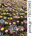 彩り豊かなお花畑 78373965