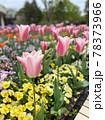 ピンクの可愛いいチューリップ畑 78373966