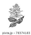 Medinilla. Flowering plants. Tropical or exotic leaves and leaf. Vintage fern. Engraved flowers 78374183