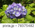 紫陽花(アルトナ) 78375482