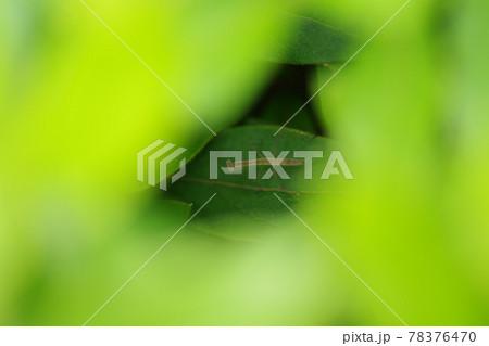 葉っぱの陰に隠れるカマキリの子供 78376470