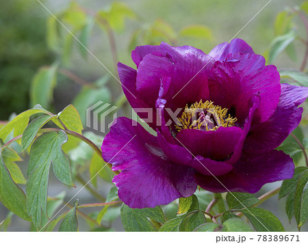 植物、花、写真 花の王様のあでやかな牡丹 宮沢賢治の牡丹園 薬用植物の牡丹 立てば芍薬座れば牡丹 78389671
