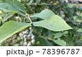 ブルーベリーの葉に付いた朝露と未成熟の果実 78396787