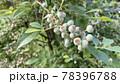 ブルーベリーの若い薄緑色の未成熟の果実 78396788