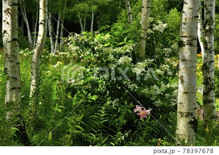 ハンターマウンテンゆりパークの白樺林にヤブデマリとゆりの花 78397678