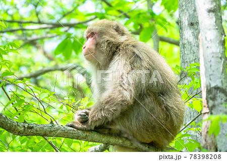 木登りする猿・野生生物 78398208