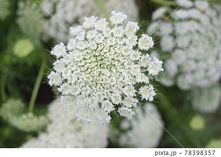 採取用の菜園のニンジンの花 78398357