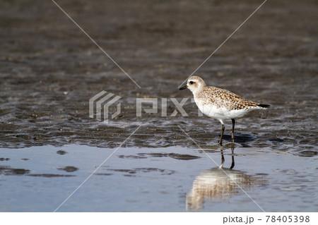 浜辺の干潟でアチコチ餌を探して歩くダイゼン 78405398