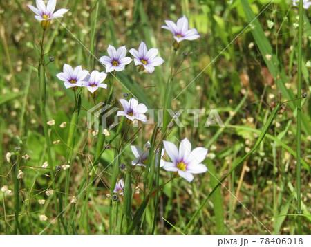 五月の中ごろから咲く公園の野草ニワゼキショウの花 78406018