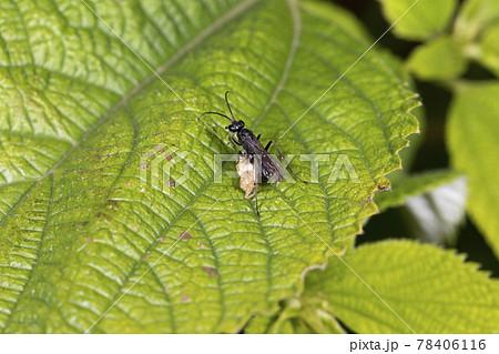 コトゲアシクモバチ 78406116