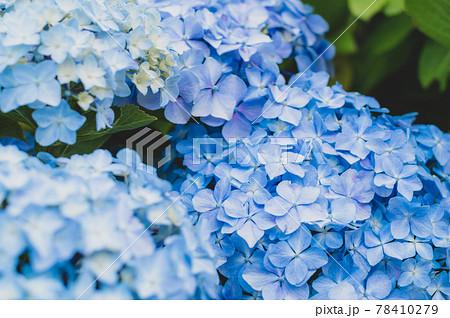 梅雨空の光の下で咲く青いアジサイ a-4 フィルム調 78410279