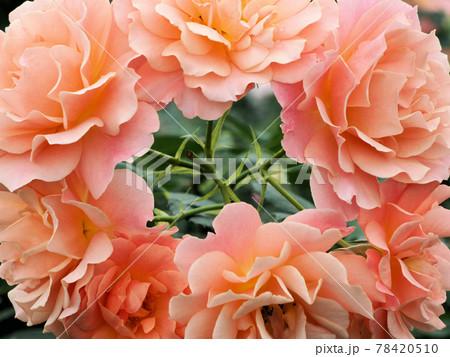 はな阿蘇美 春のバラ開花 薔薇の花輪 熊本県阿蘇市小里 78420510